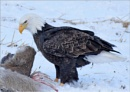 Bald Eagle in the Wild 3 by MalcolmM