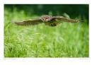 Little Owl in Flight by running_man