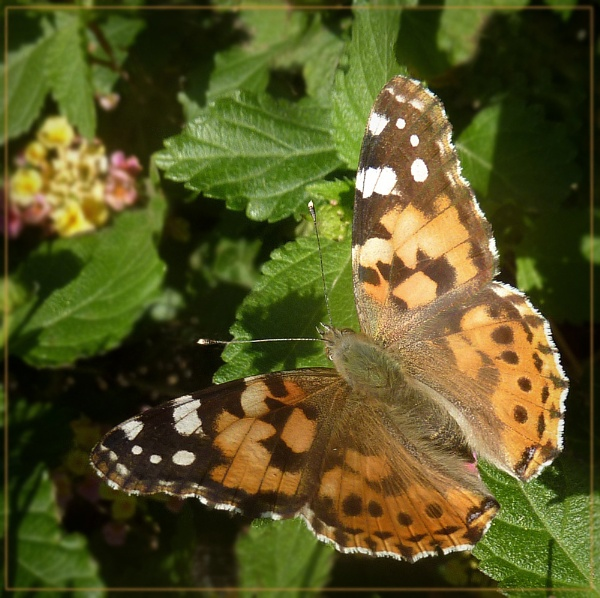 painted lady on lantana by CarolG