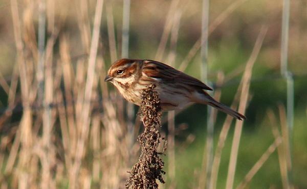 Female reed bunting by oldgreyheron