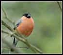 Male Bullfinch by Maiwand