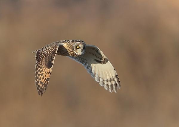 Owls in Good Light by NeilSchofield