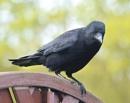 Carrion Crow by MEM