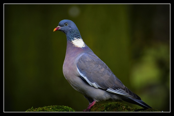 woodpigeon by ossca
