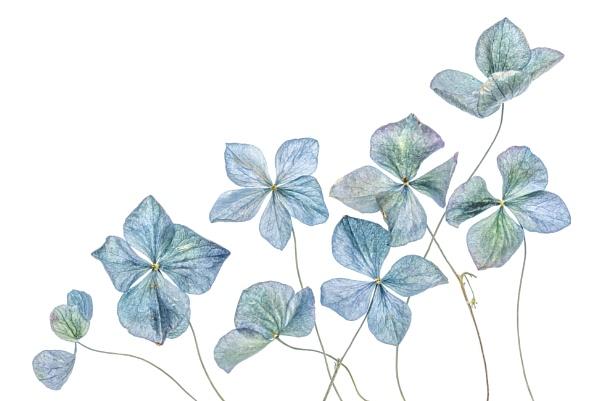 Hydrangea by MandyD