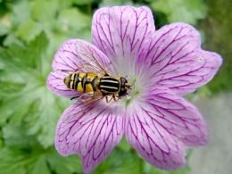 Hoverfly on Cranesbill.