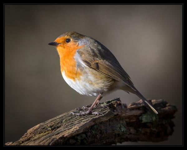 Robin (erithacus rubecula) by mjparmy