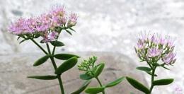 Bryophyllum Bloom