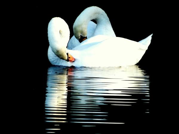 Swan Lake by ianmoorcroft