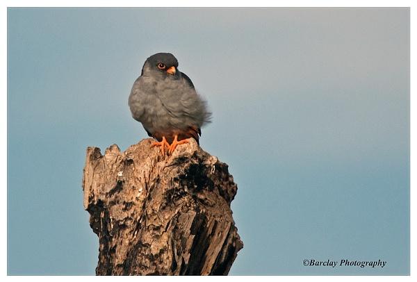 Amur Falcon male by fatfranksfolley