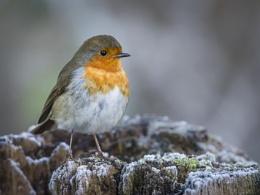 Robin On Frosty Stump