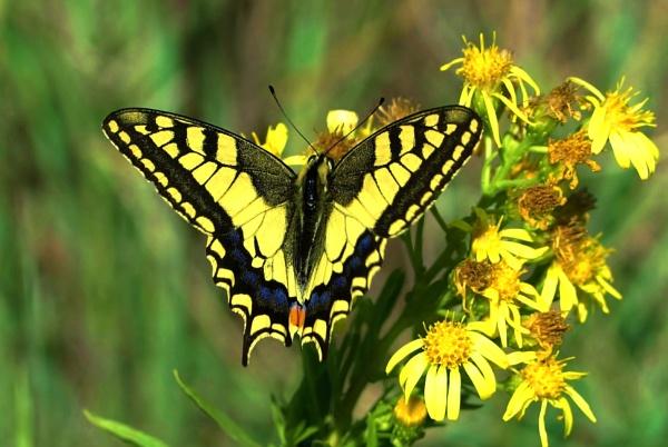 Swallowtail by georgiepoolie