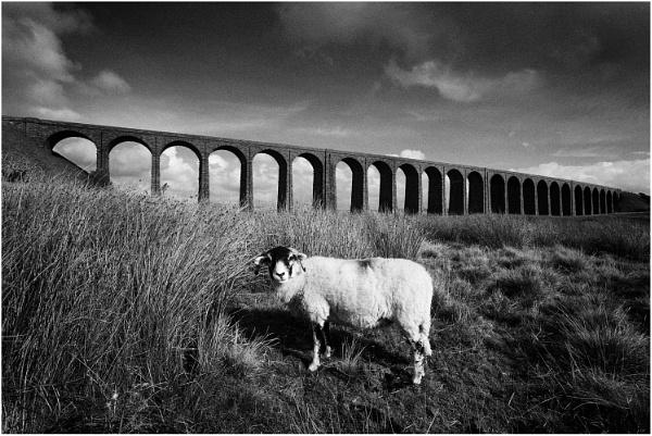 Ribblehead Sheep by dark_lord