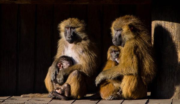 Baboon Creche by Johnsodav