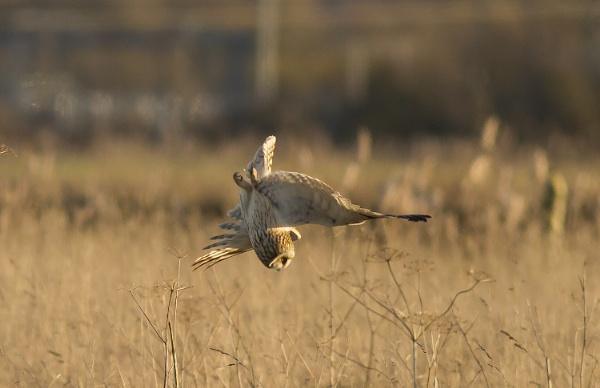 Short Eared Owl by ali63
