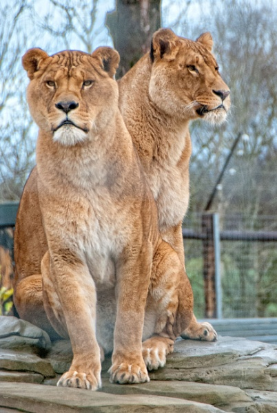 Two Lions by big bill