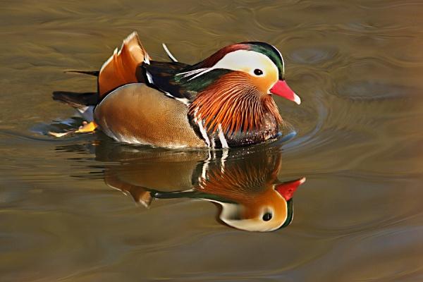 Mandarin Duck--Aix galericulata. by bobpaige1