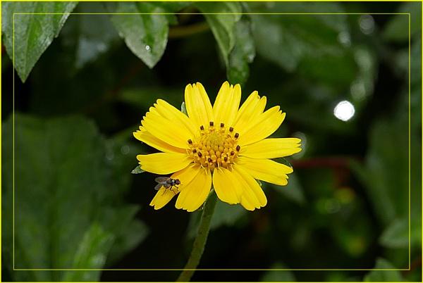*** Tickseed flower & Fly *** by Spkr51