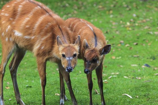 Sitatunga-Antilope by mongol