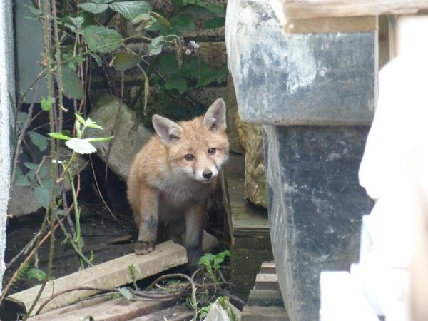 Shy fox cub by davyskid