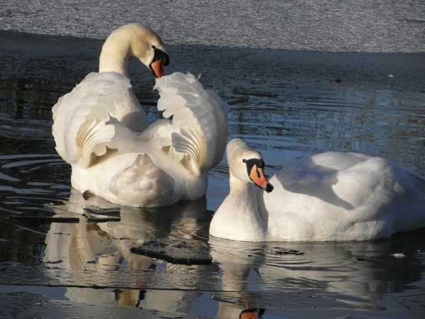 Swan\'s by davyskid