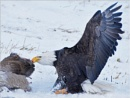 Bald Eagle in the Wild 4 by MalcolmM