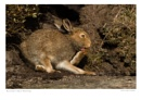 Mountain Hare Washing by running_man