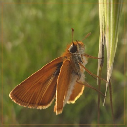 more skippers!