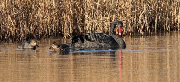 Black swan and friends by oldgreyheron