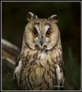 Long Eared Owl by Maiwand