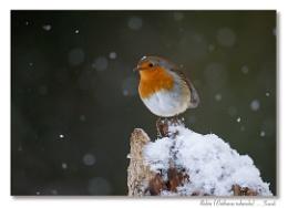 Photo : Snow Robin