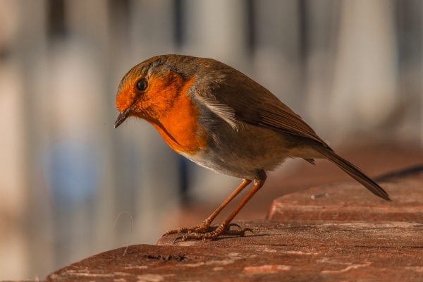 A very,very tame Robin by redken60