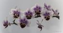 Orchid by SkySkape