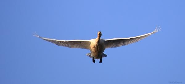 whooper swan by linda68