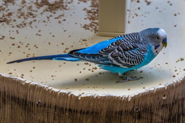 Blue Parakeet by ShotfromaCanon