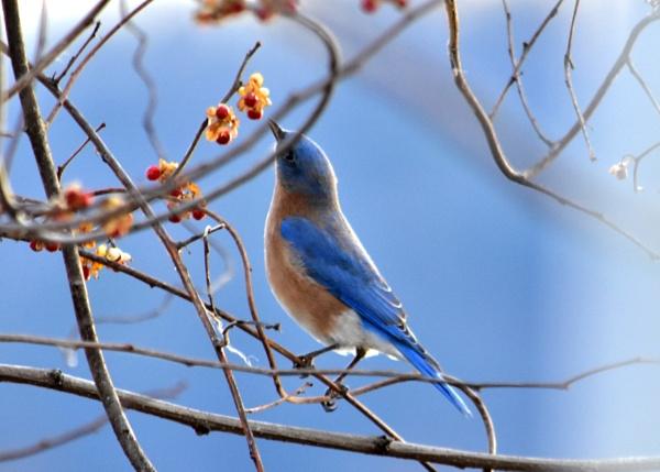 Male bluebird in his winter colors by JeffGresko