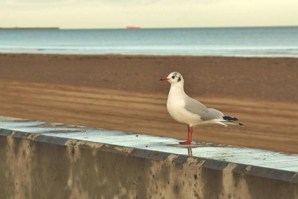 Black headed Gull by georgiepoolie