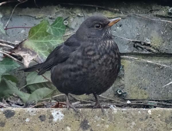 Blackbird by Mags100