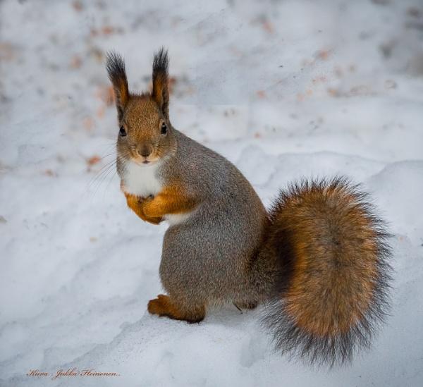 Winter squirrel - 2. by kuvailija