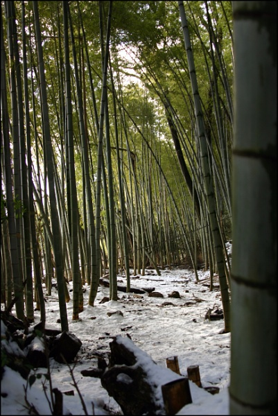 Bamboo forest by laura1