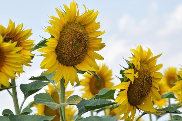 sunflowers field by binder1