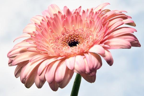 pink gerber by binder1