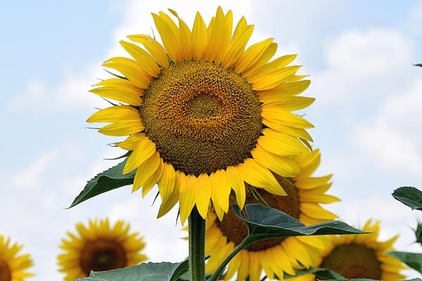 nice sunflowers by binder1
