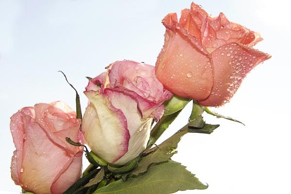 three roses by binder1
