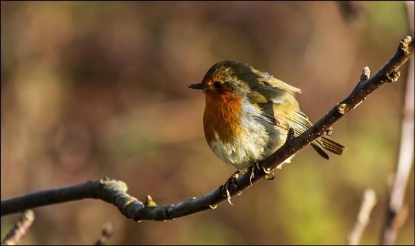 Robin by civitas