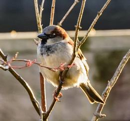 Sparrow's