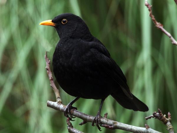 Blackbird by bppowell