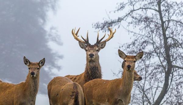 Deer In The Mist by NickLucas