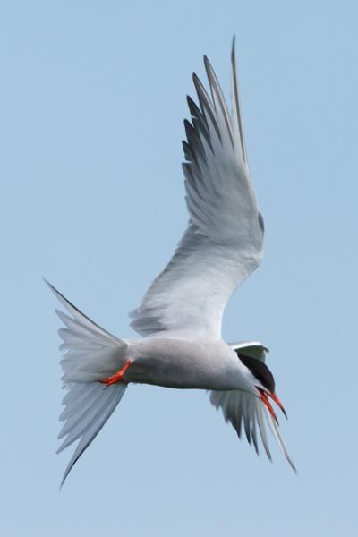 Tern by nobby1