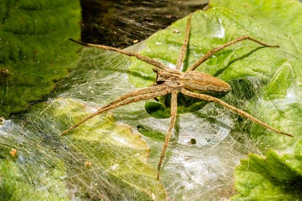 spider by mogobiker